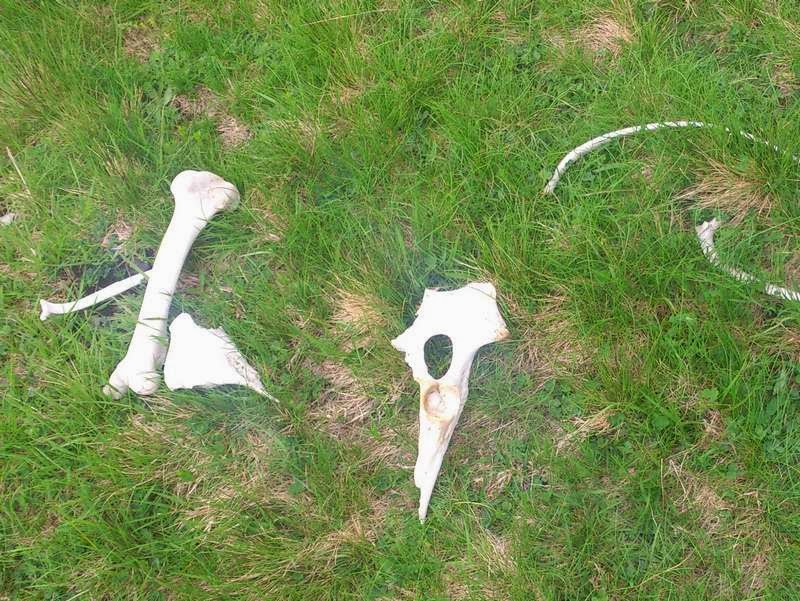 Botten en schedel van een schaap