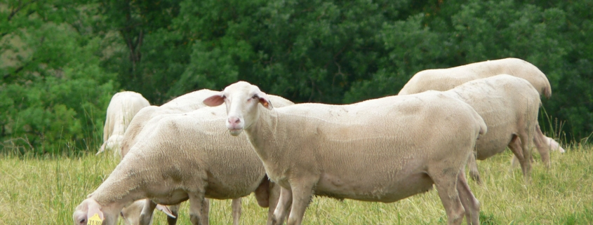 De schapen waarvan de melk de basis vormt voor de Roquefort