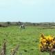 Een wie met koe in Normandië